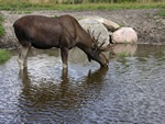 Moose, Elk (Alces alces)